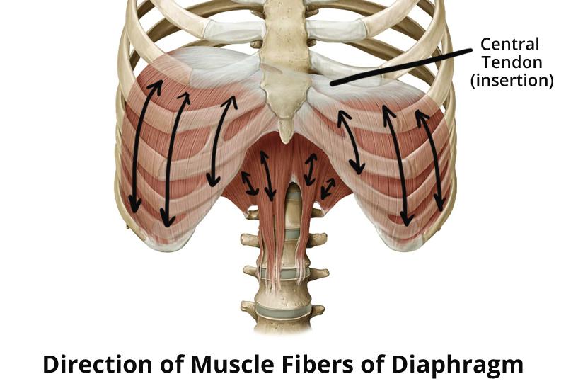 diaphragm-muscle-fibers